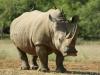 neushoorn-hlane-swaziland