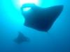 sunway-tofu-manta-rays-tofu-scuba